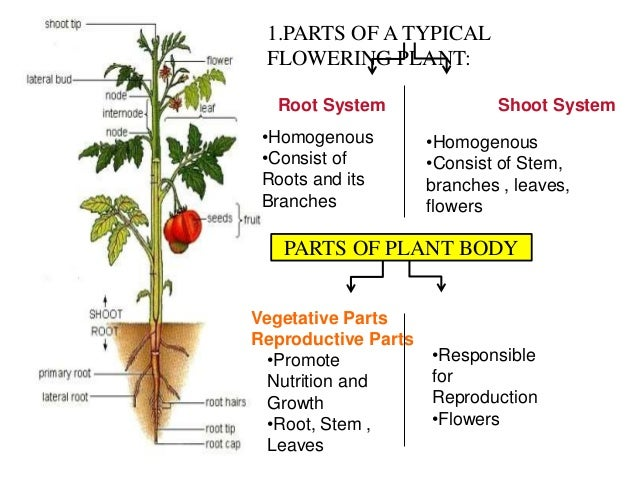 plant morphology and anatomy pdf