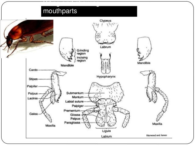 maycintadamayantixibb: The Grasshoppers Mouthparts And