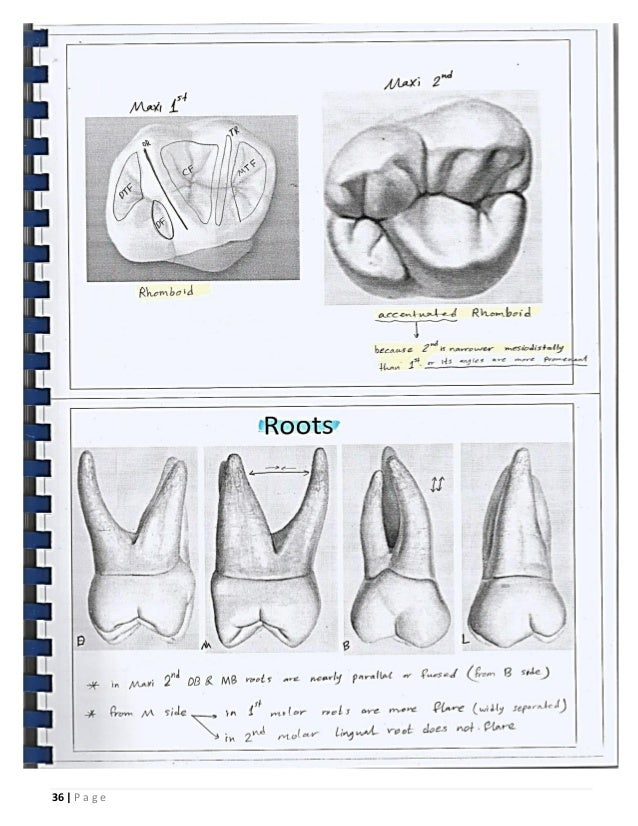 Dental Anatomy _or_ Morphology _ BDS_ ISNC