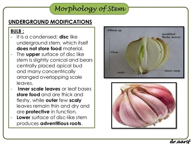 Examples Of Plants That Store Food In Their Stems