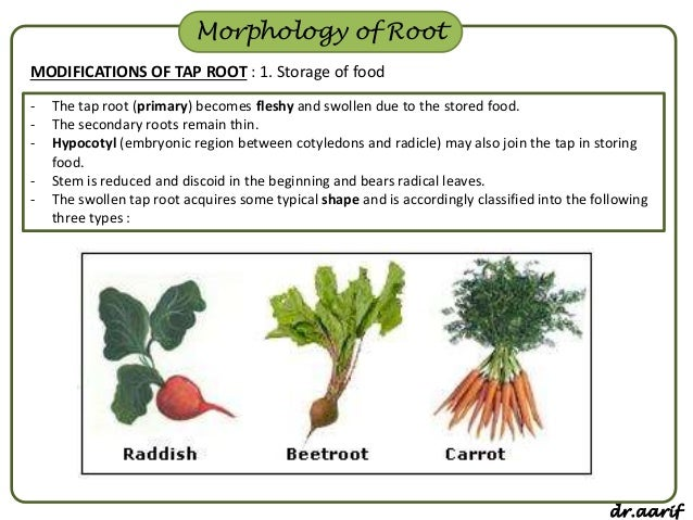 The Edible Orange Part Of Carrot Is Its Taproot