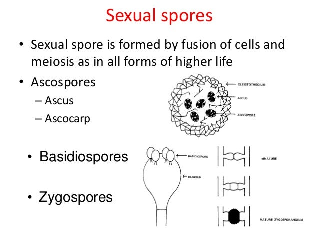 formation of ascospores Spore formation is initiated following hormonal interaction between hyphae of different mating types following plasmogamy, the two commonly 8 ascospores.