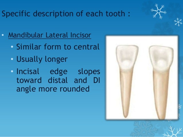 Specific description of each tooth : • Mandibular First Molar • Also unique in appearance • Four cusps-MB, DB, ML and DL •...