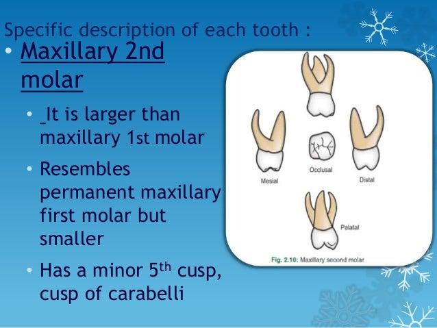 Tooth morphology: maxillary premolars poster.