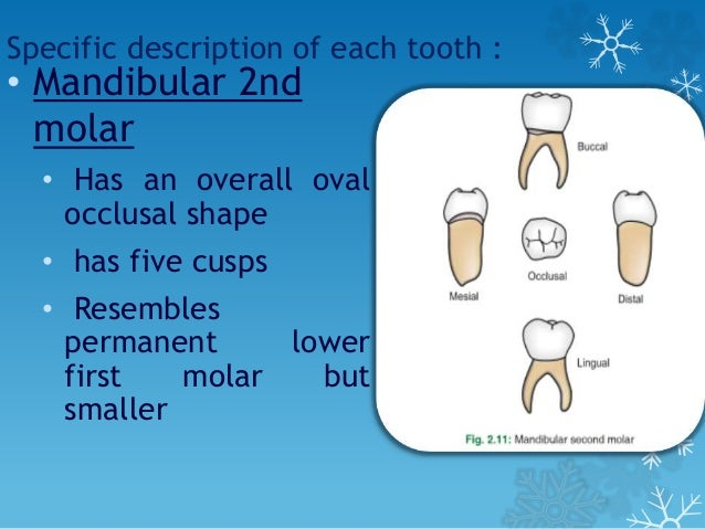 Morphology of primary teeth ppt video online download.