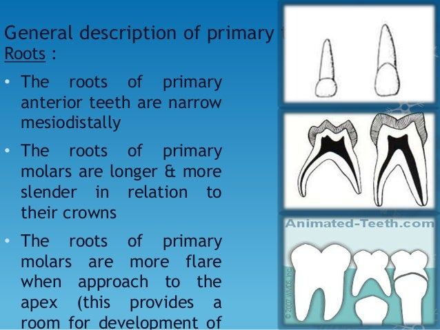 Specific description of each tooth : • Maxillary Lateral Incisor • Similar form to central but smaller • distoincisal angl...
