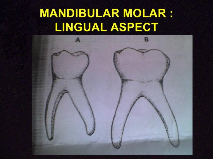 morphology of primary teeth pedodontics