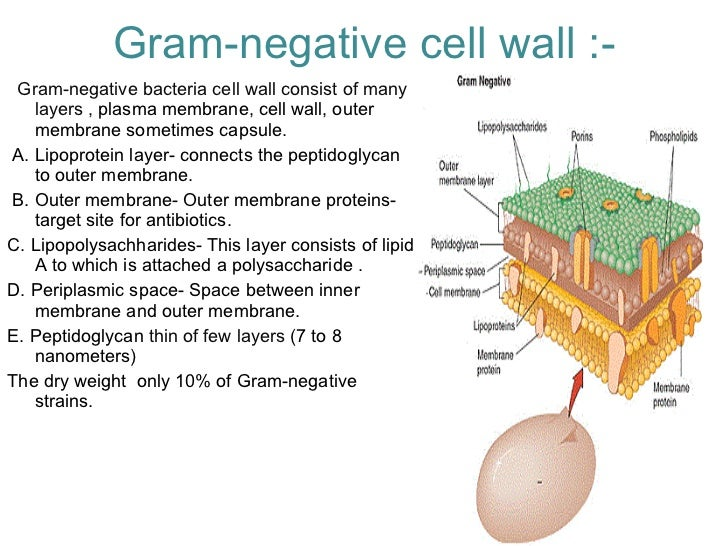 Bacterial Cell Diagram Of A Gram Diy Wiring Diagrams