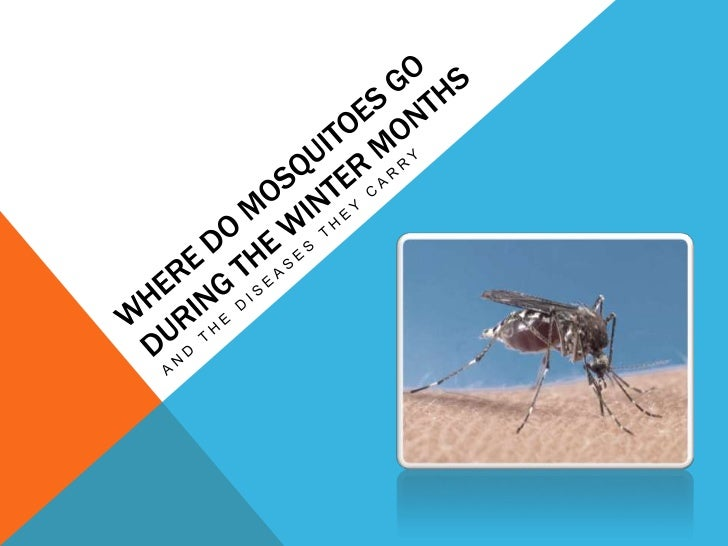 WHY MOSQUITOES ARE LESS EVIDENT DURING WINTER     We all know that the summer months are full of of mosquito    attacks an...