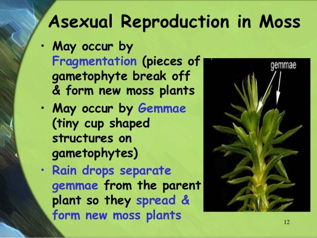 Hornwort asexual reproduction