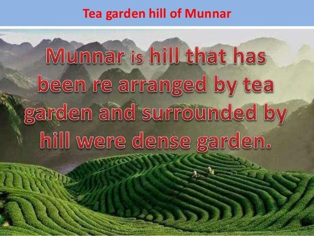 Tea garden hill of Munnar