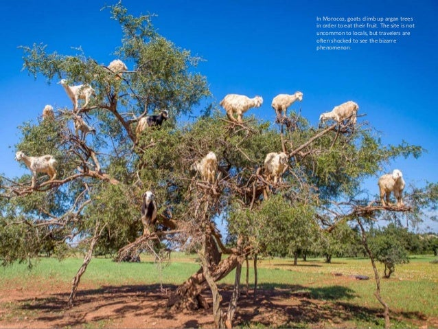 In Morocco, goats climb up argan trees in order to eat their fruit. The site is not uncommon to locals, but travelers are ...