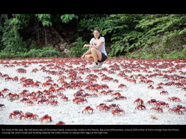 For most of the year, the red land crabs of Christmas Island, in Australia, reside in the forests. But around November, ar...