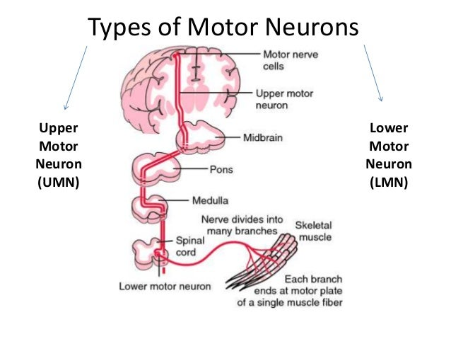 Motor neuron lesions umnl lmnl What is lower motor neuron disease