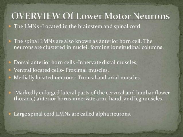 Anterior Horn Cell Lower Motor Neuron