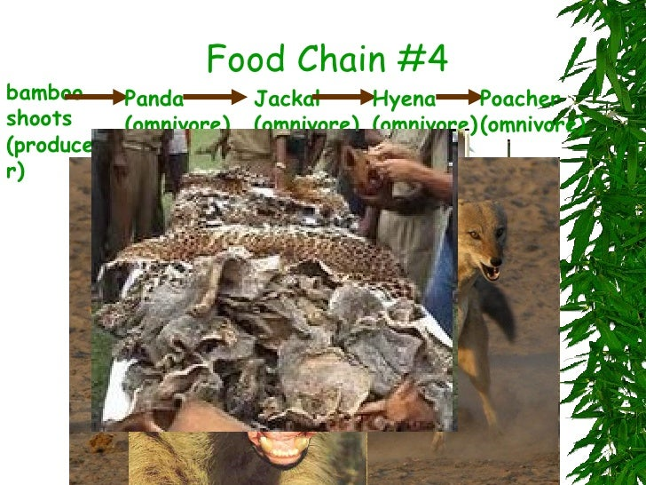 Mountain Gorilla Food Chains
