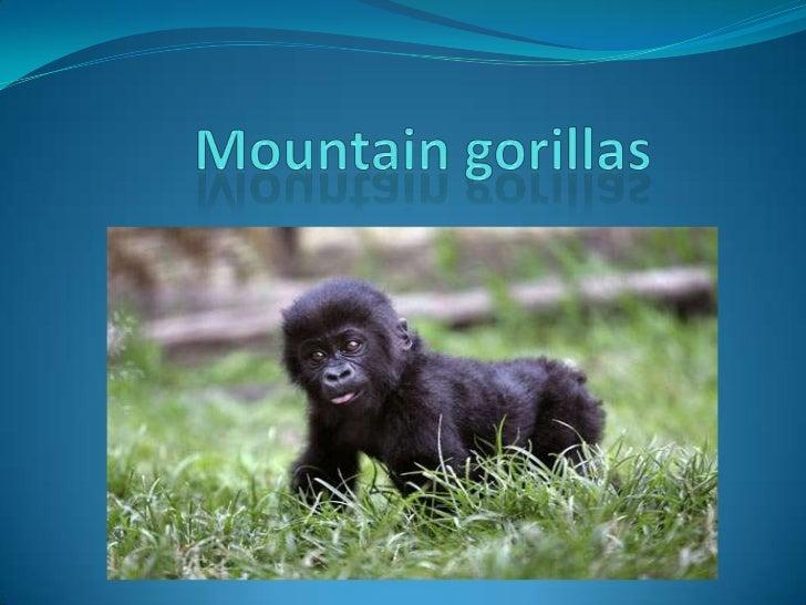 Mountain gorillas<br />