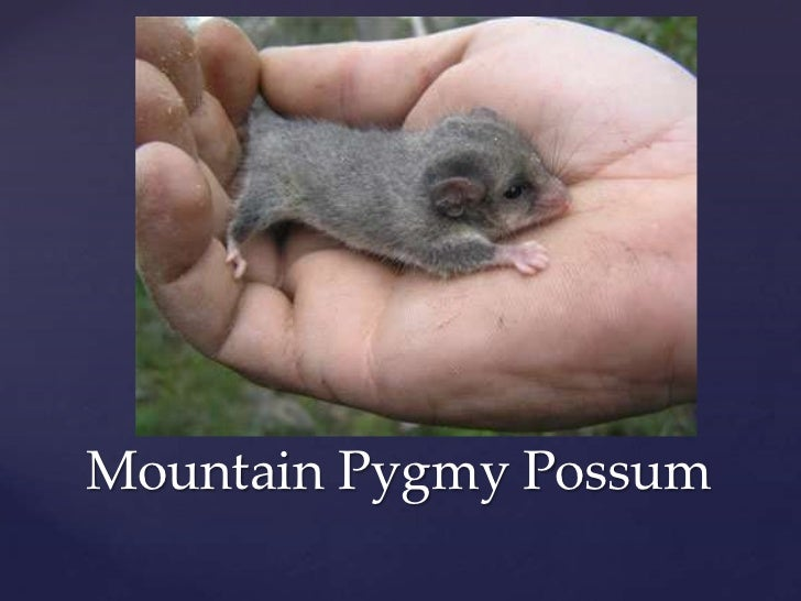Mountain Pygmy Possum<br />