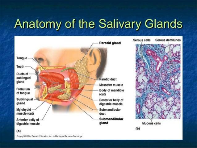 parotid glandparotid gland