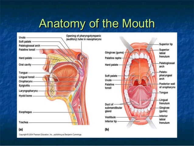 mouth and esophagus anatomy physiology rh slideshare net