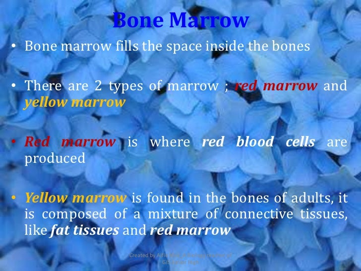 Bone Marrow• Bone marrow fills the space inside the bones• There are 2 types of marrow ; red marrow and  yellow marrow• Re...