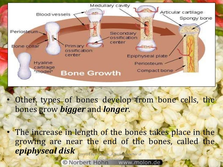 • Other types of bones develop from bone cells, the  bones grow bigger and longer.• The increase in length of the bones ta...