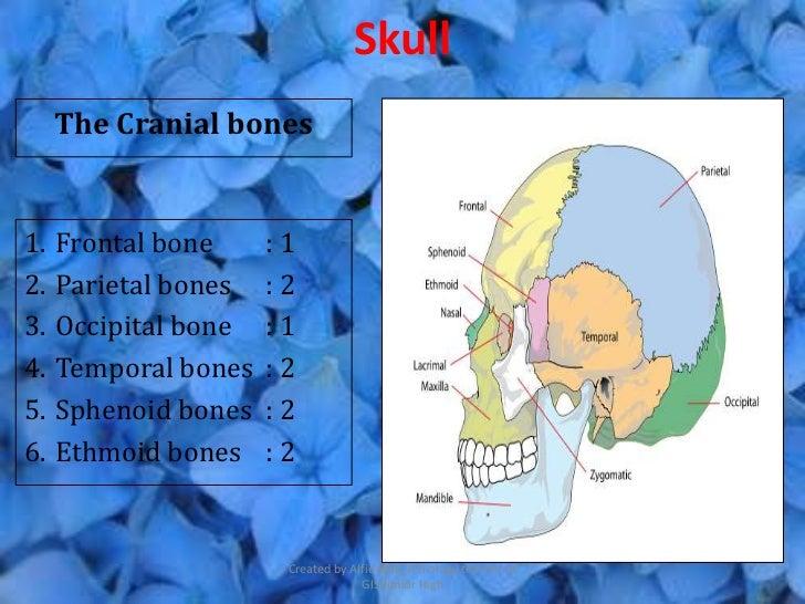 Skull     The Cranial bones1.   Frontal bone     :12.   Parietal bones   :23.   Occipital bone   :14.   Temporal bones   :...