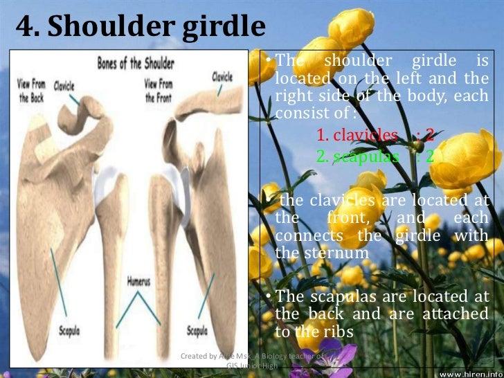 4. Shoulder girdle                                   • The shoulder girdle is                                     located ...