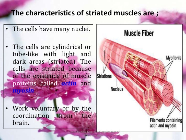 The characteristics of striated muscles are ;• The cells have many nuclei.• The cells are cylindrical or  tube-like with l...