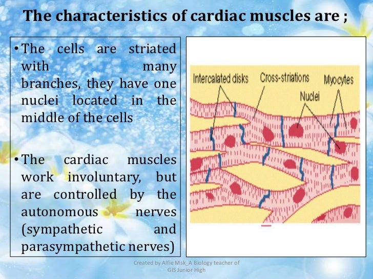 The characteristics of cardiac muscles are ;• The cells are striated  with                many  branches, they have one  n...