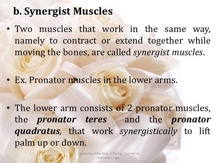 b. Synergist Muscles• Two muscles that work in the same way,  namely to contract or extend together while  moving the bone...