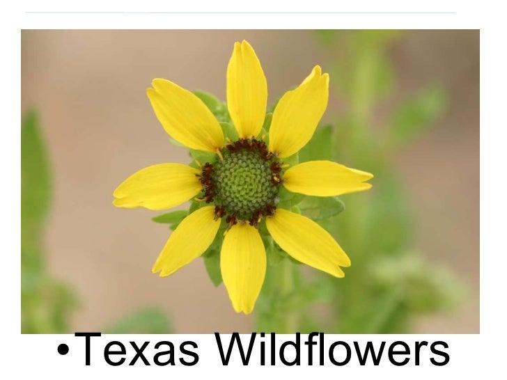 <ul><li>Texas Wildflowers </li></ul>