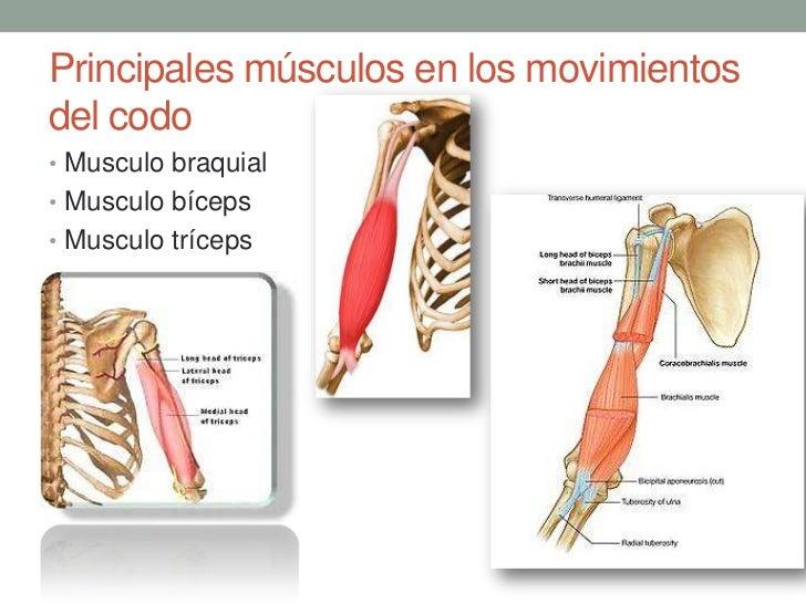 Lujoso El Codo Y La Anatomía Del Antebrazo Inspiración - Anatomía de ...