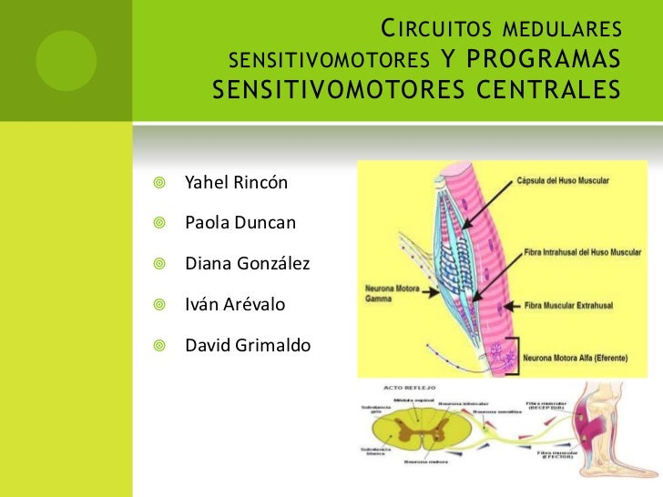 C IRCUITOS MEDULARES        SENSITIVOMOTORES Y PROGRAMAS       SENSITIVOMOTORES CENTRALES   Yahel Rincón   Paola Duncan...