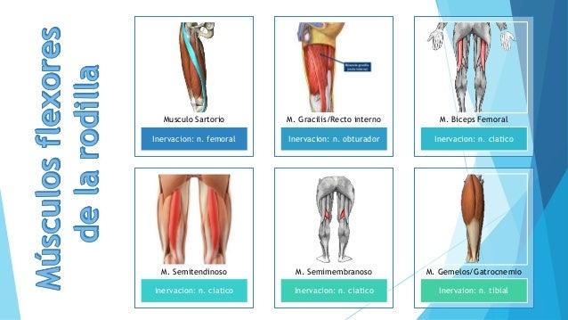 MUSCULOS)Movimientos de la articulación de la rodilla