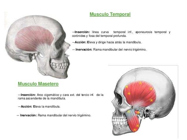 Musculo Temporal                                      —Inserción: línea curva       temporal inf., aponeurosis temporal y ...