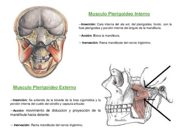 Musculo Pterigoideo Interno                                               —Inserción: Cara interna del ala ext. del pterig...
