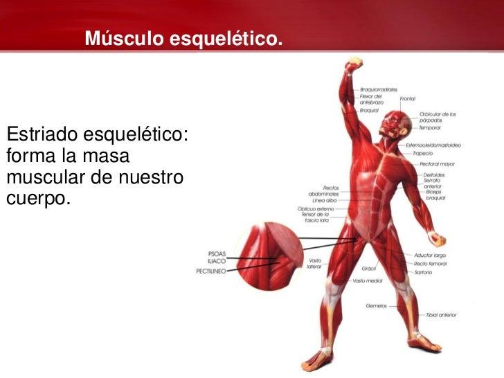 Lujo Tipos De Músculos Esqueléticos Fotos - Anatomía de Las ...