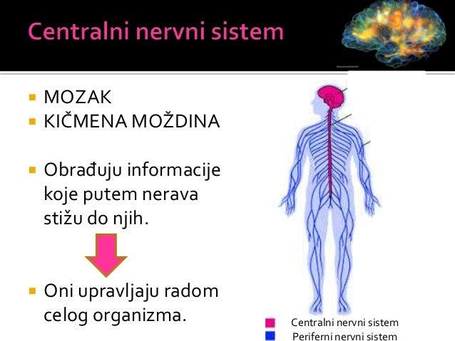 Mozak Kičmena moždina Zaštićen u lobanji Zaštićena u kičmenom kanalu