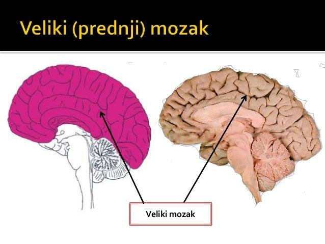 Čeoni režanj -voljni pokreti -govor -učenje -pamćenje -razmišljanje Slepoočni režanj -sluh -ukus Potiljačni režanj -vid
