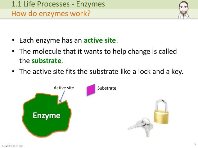 enzymes and life processes Life processes – the processes that are necessary for an organism to stay alive   take in whole food and then digest it into smaller particles with enzyme.