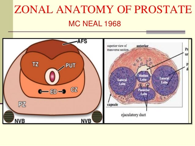Anatomy of prostate
