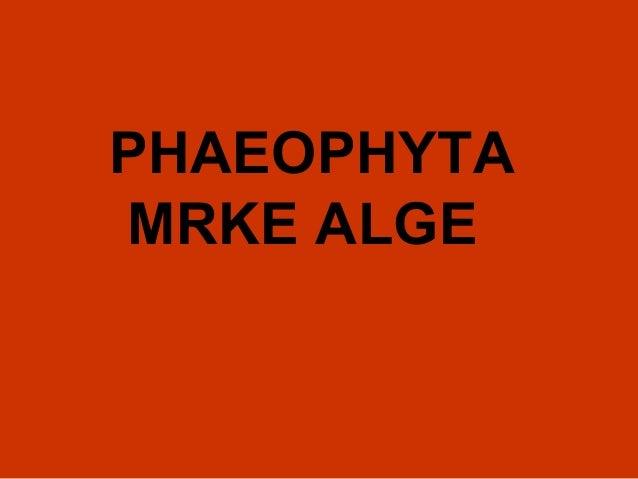 PHAEOPHYTA MRKE ALGE