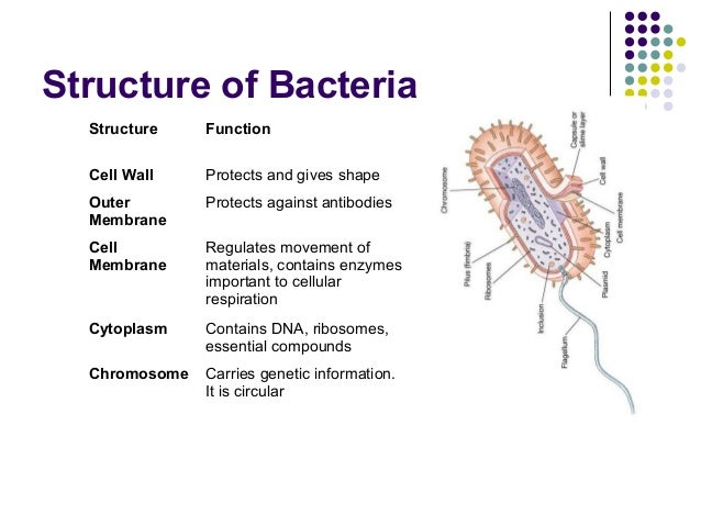 Bacteria function diagram complete wiring diagrams investigatory project on bacteria rh slideshare net animal cell diagram bacteria diagram unlabeled ccuart Image collections
