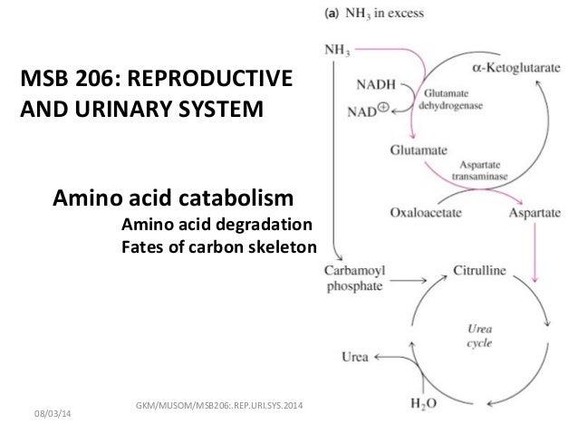 Amino acid catabolism Amino acid degradation Fates of carbon skeleton GKM/MUSOM/MSB206:.REP.URI.SYS.2014 MSB 206: REPRODUC...