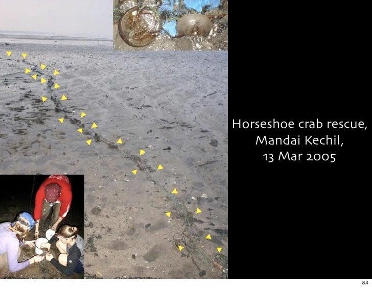 Horseshoe crab rescue,    Mandai Kechil,     13 Mar 2005                          84