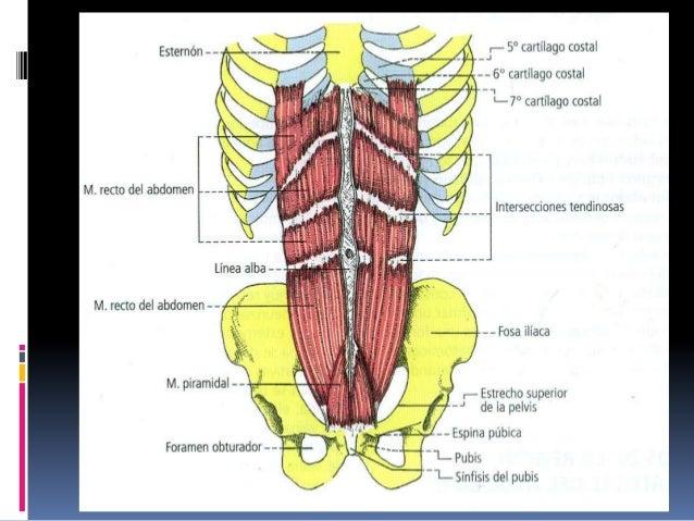 Músculos abdominales andomen nuevo