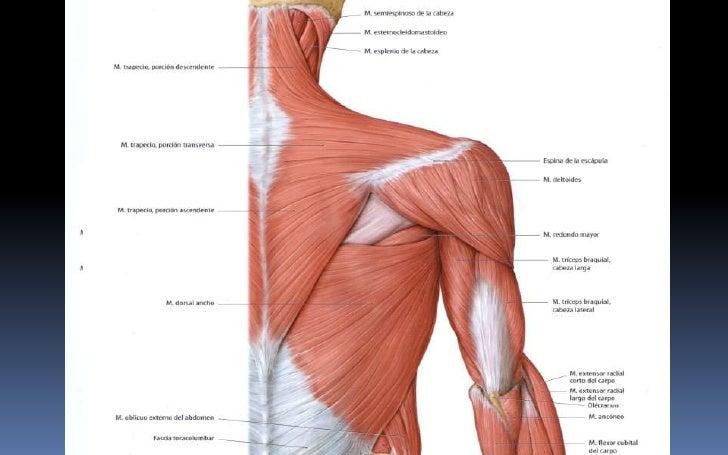 Músculos anteriores y posteriores de ms clase -