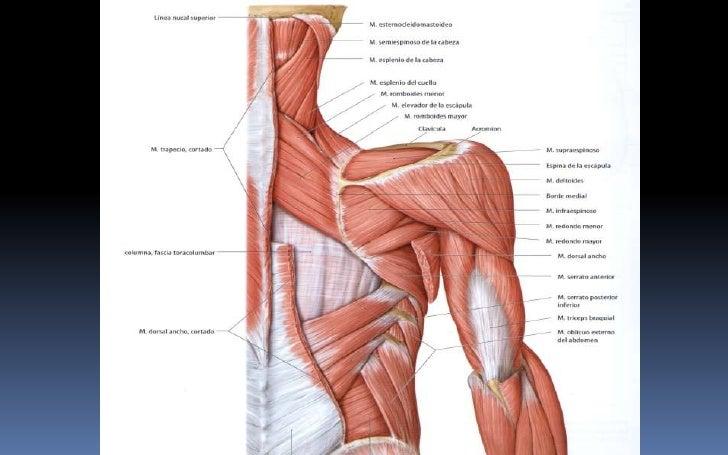 Fantástico Los Músculos Del Hombro Posterior Inspiración - Anatomía ...