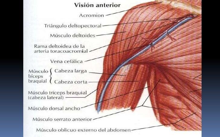 Vistoso Hombro Posterior Anatomía Muscular Composición - Anatomía de ...